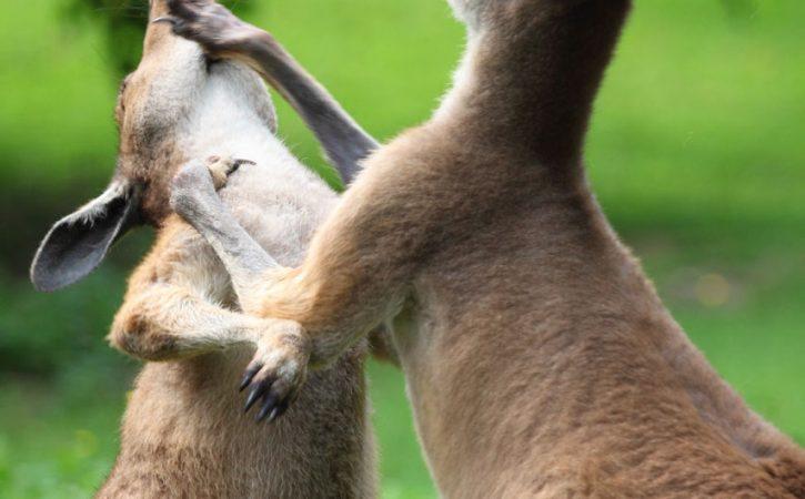 kangourous-boxe-horion