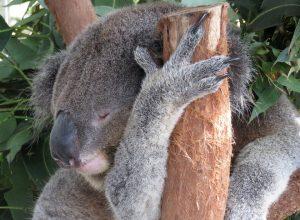 koala-dort-calin-branche-onirique