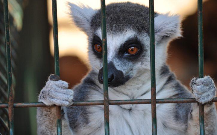 lemurien-cage-ergastule