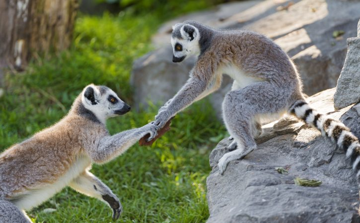 lemurien-serre-la-main-accort