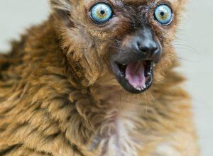 lemurien-surpris-bouche-ouverte-beer
