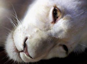 lion-albinos-fatigue-exsangue