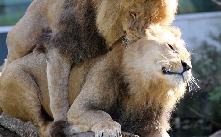 lions-calins-gay-uransime