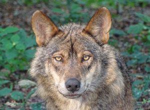 loup-neutre-ataraxie