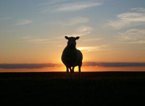 mouton-devant-soleil-couchant-nycthemere