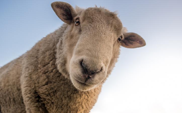 mouton-serieux-catachrese