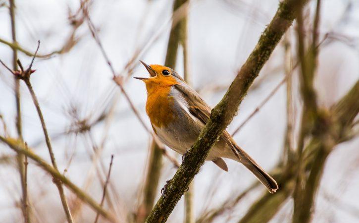 oiseau-chante-zinzinuler