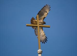 oiseau-croix-laudateur