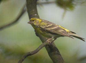 oiseau-jaune-serin-seriner