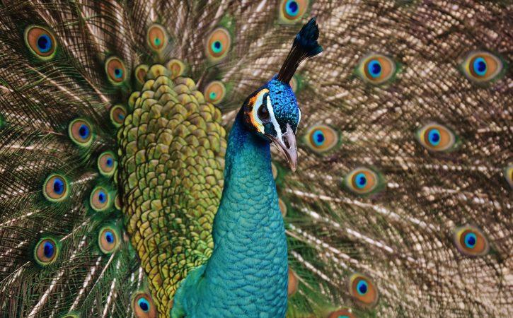 oiseau-paon-fier-roue-infatuer