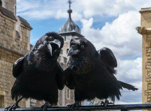 oiseaux-corbeaux-discutent-circonlocution
