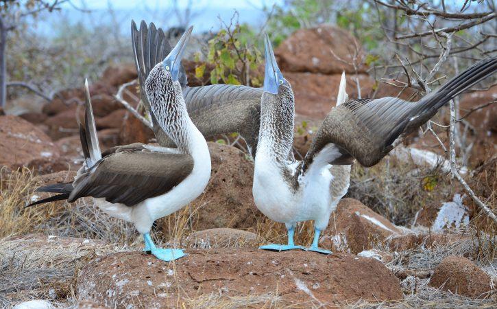 oiseaux-danse-marivaudage