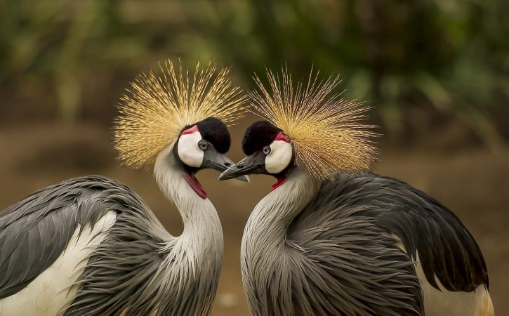 oiseaux-grues-coquecigrue