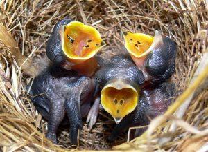 oiseaux-nid-ouvertes-clopinettes