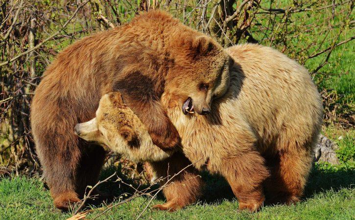 ours-bagarre-jeu-ferir