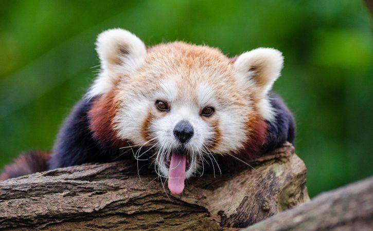 panda-tire-langue-deblaterer