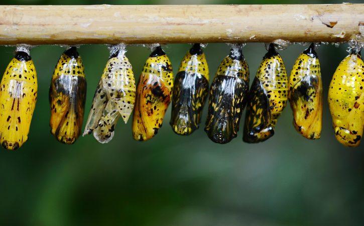 papillon-cocons-jaunes-palingenesie