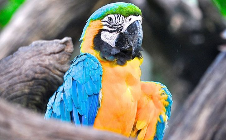perroquet-bleu-et-jaune-turlutaine