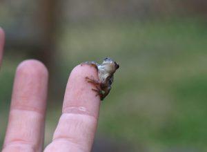petite-grenouille-gnognotte