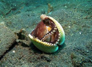 pieuvre-coquillage-calfeutrer