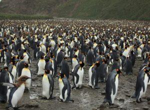 pingouins-nombreux-reunis-raout