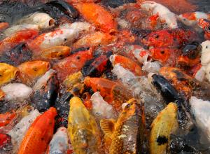 poissons-rouges-superfetatoire