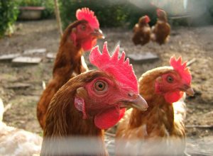 poules-interessees-volapuk