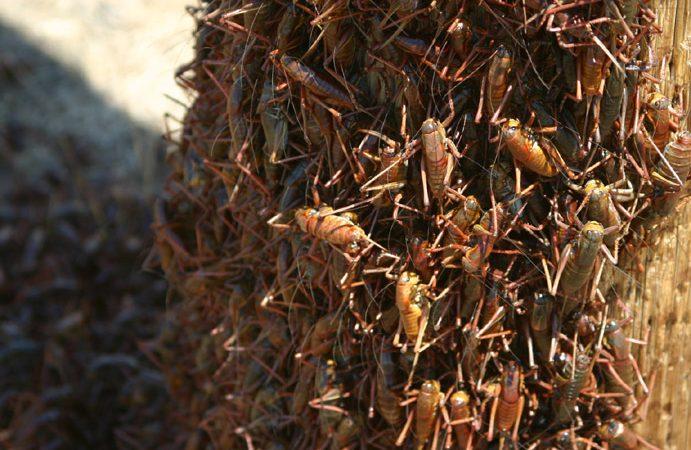 sauterelles-multitude-inextinguible