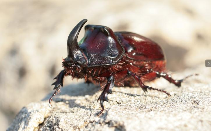 scarabe-rhino-apex