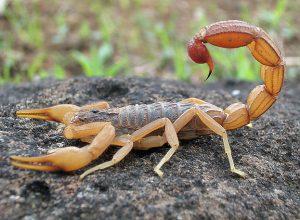 scorpion-deletere