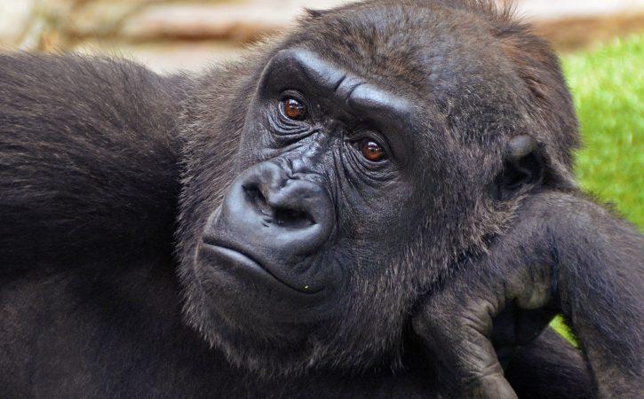 singe-gorille-pensif-sapient