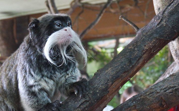 singe-moustache-pensif-souloir