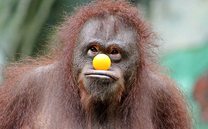 singe-nez-jaune-rigolo-simiesque