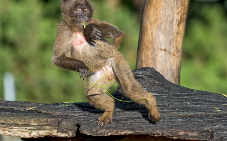 singe-regarde-sa-montre-incontinent