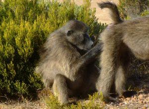 singes-epouiller-obsequieux