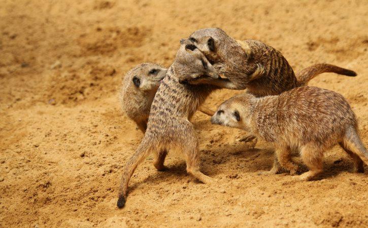 suricates-combat-corporel-pugnacite