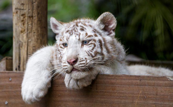 tigre-blanc-pensif-ennui-poncif
