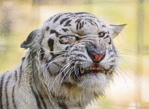 tigre-grimace-corroborer