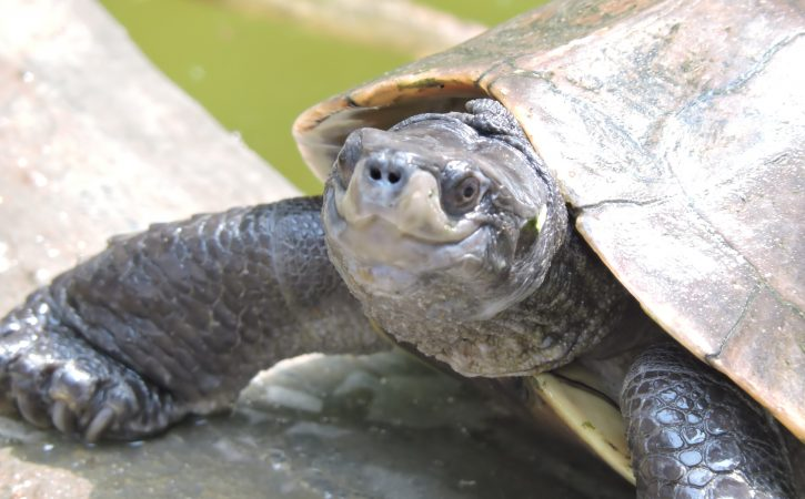 tortue-sourire-amene