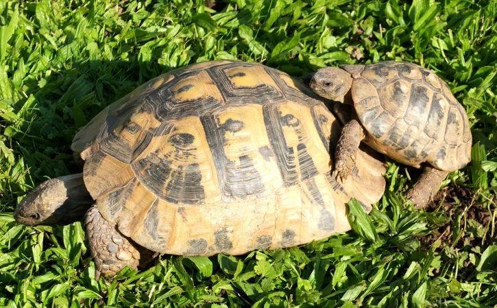tortues-male-femelle-jocrisse