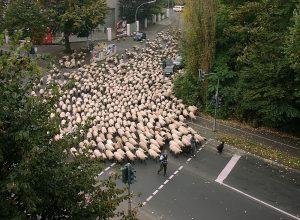 troupeau-moutons-sarcocyste
