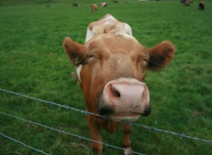 vache-heureuse-ineffable