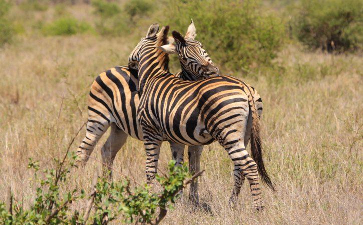 zebres-calins-indefectible